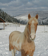 TENNESSE WALKING HORSE STALLION STANDING AT STUD